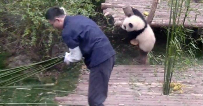 Djurskötaren försöker dekorera lite i inhägnaden. Pandans reaktion? Jag skrattar så tårarna rinner!